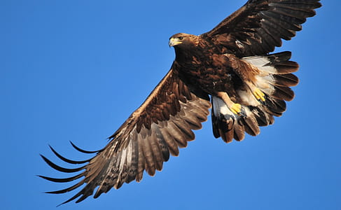 flying black and white hawk under blue sky