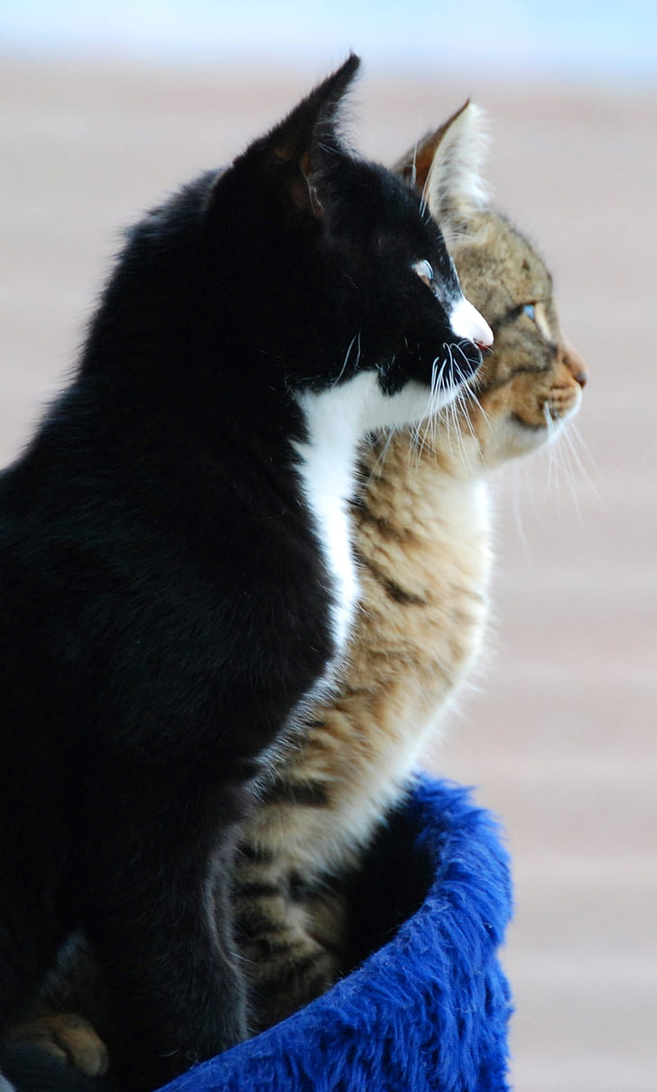 tuxedo and brown Tabby cats on blue pet bed