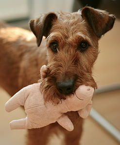 tan Lakeland terrier biting pink pig plush toy