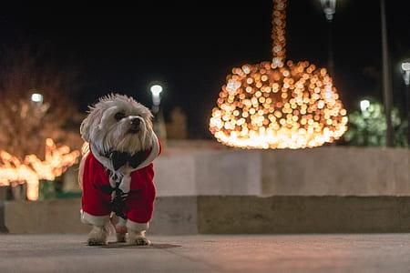 white shi tzu in Santa costume