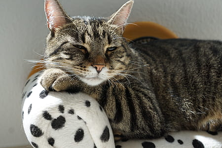 adult brown Tabby cat on white-and-black spotted surface