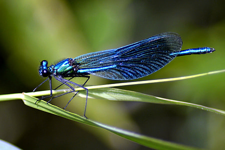 blue damselfly perched on green leaf closeup photography