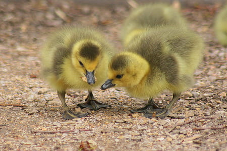 yellow and black ducklings