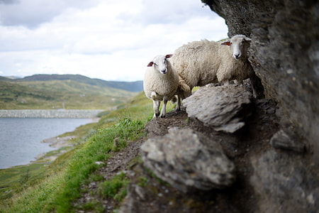 two lambs photo