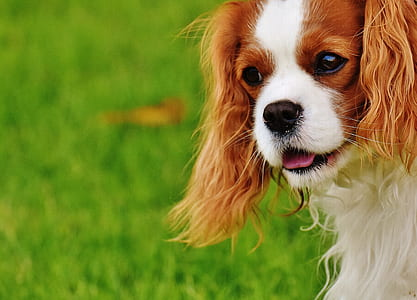 adult Cavalier King Charles spaniel on focus photo during daytime