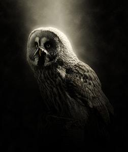 white and black owl