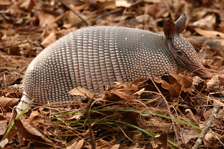 shallow focus photography of armadillo