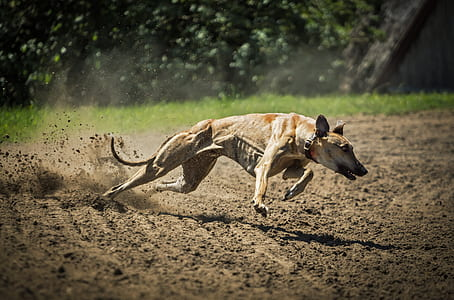 adult tan greyhound running on dirt road during daytime