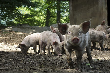 photo of group of pigs