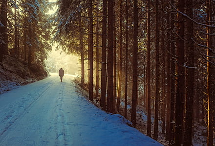 person walking on pathway surrounded by pine trees