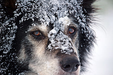 closeup photo pf adult black and white dog with snow on face