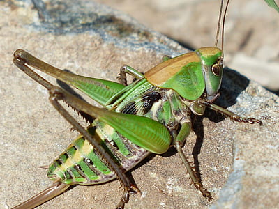 macro photography of green and brown grasshopper