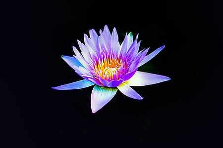 purple and yellow flower with black background