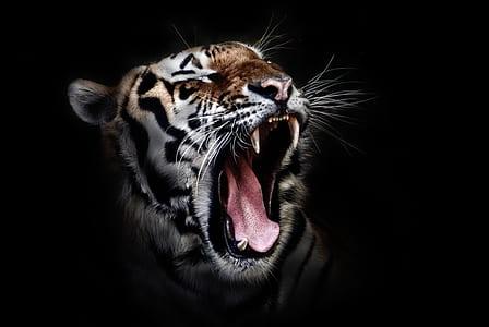 angry tiger photo