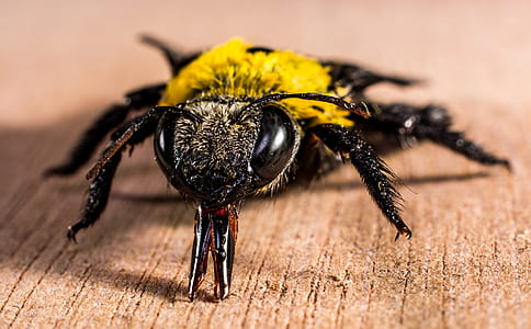 Yellow Black Bee on Brown Wooden Surface