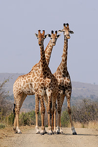 wildlife photography of three giraffe