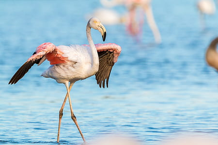close up photo of white and pink flamingo on blue sea