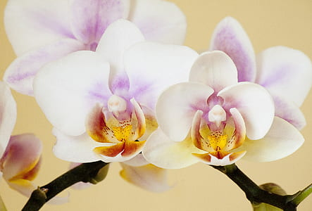 white and purple Orchid flowers