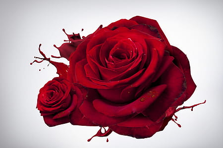 red rose flower in close up photography