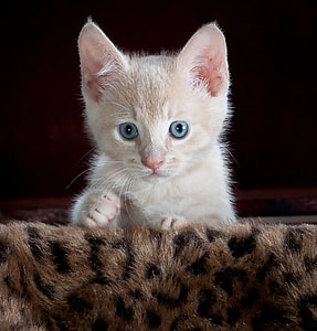 short-fur white kitten