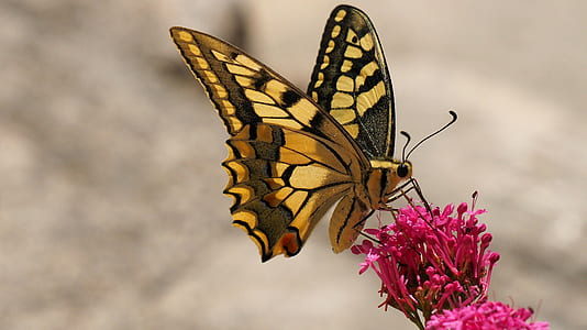 shallow focus photography of tiger swallowtail butterfly on pink flowers