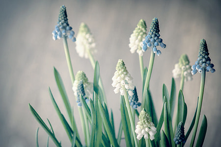 white and blue grape hyacinths in bloom close up photo