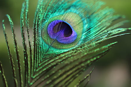 teal, purple, and green peacock feather