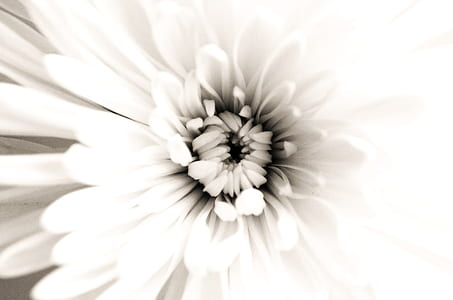 closeup photo of white chrysanthemum flower