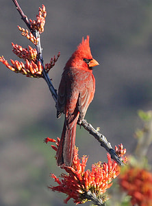depth of field photograph of red Cardinal bird