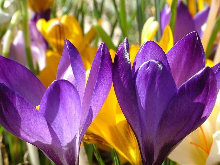 Royalty-Free photo: Yellow and purple crocus flowers | PickPik