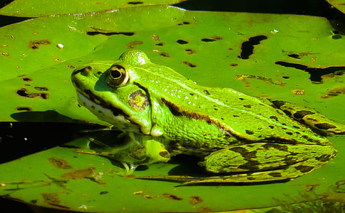 photo of green frog on water lily