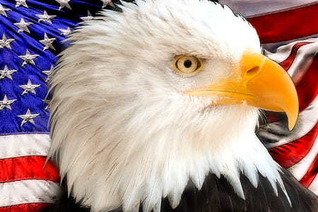 bald eagle and United States of America flag