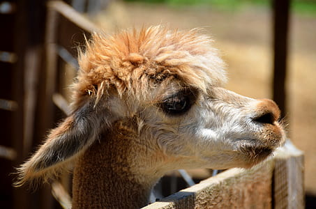 selective focus photo of brown and white llama