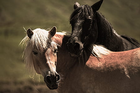 two brown and black horses at daytime