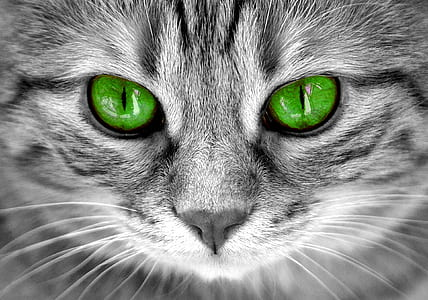 close photography of grey and black tabby cat with green eyes