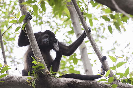 Black Primate Holding On Tree Branches