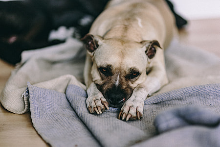 Old cute dog laying on the bed