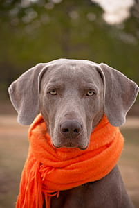 selective focus photography of adult blue Weimaraner with orange scarf