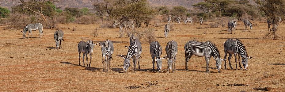 herd of zebras on barren field