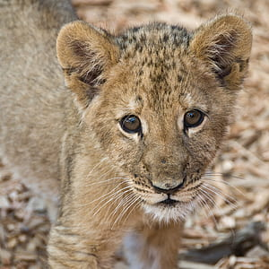 brown Lion cub