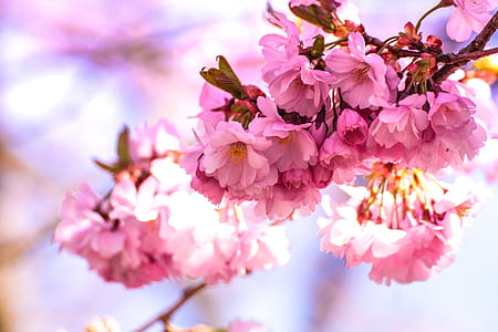 shallow focus photography of cherry blossoms