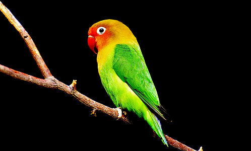 green and red parakeet fetching on tree