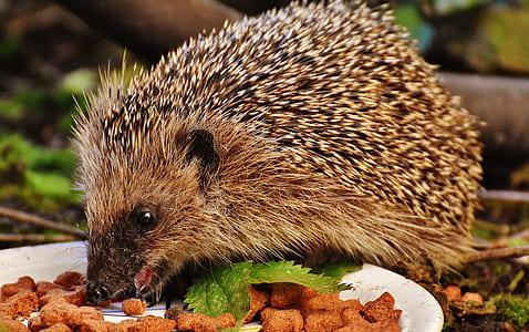 hedgehog eat cook food close up photography