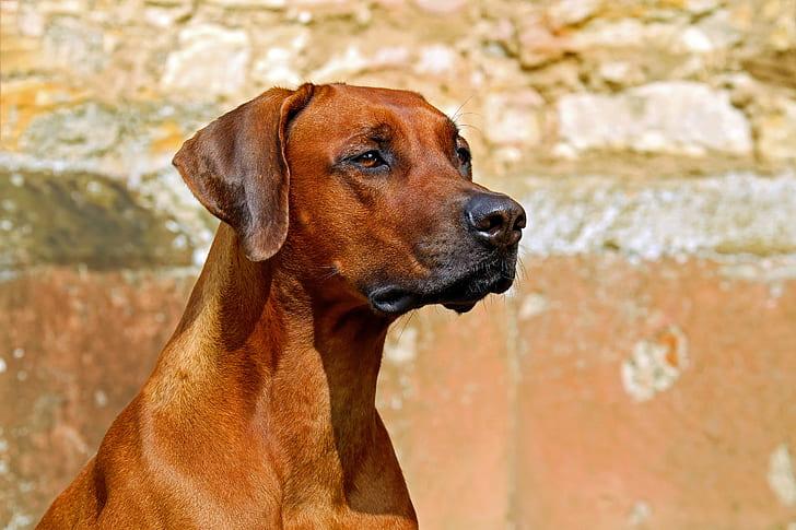 Top Rhodesian Ridgeback Brown Adorable Dog - rhodesian-ridgeback-dog-purebred-dog-large-preview  2018_396660  .jpg