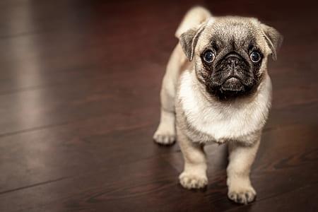 fawn pug puppy stands on parquet floor