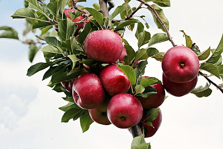 red apple fruits