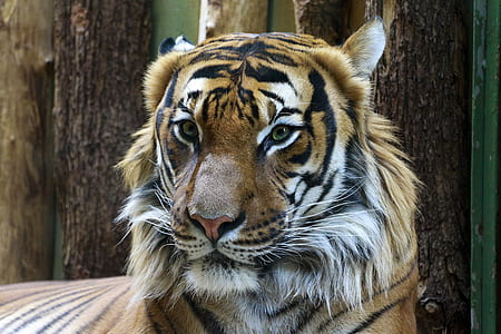 Animal Photography of Orange and Reddish Tiger