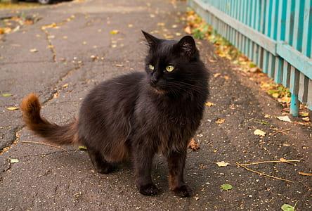 tortoiseshell Persian cat on asphalt road