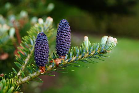 purple pine cone