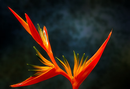 red parrot heliconia flower in closeup photography
